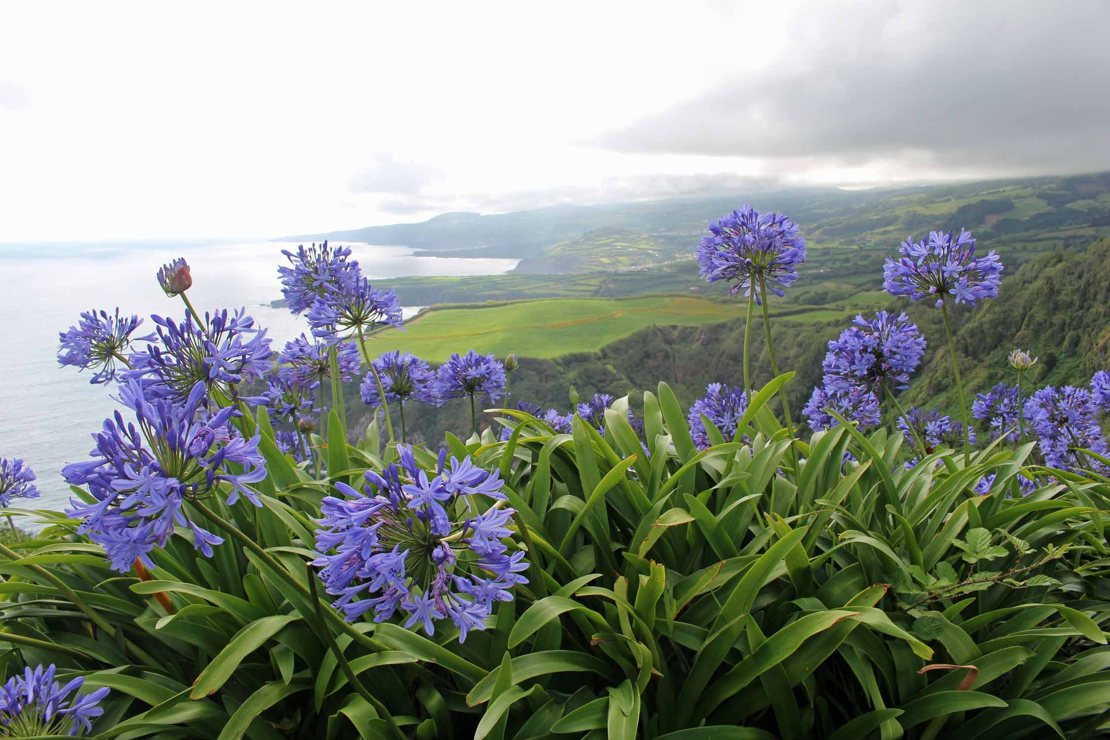 Agapanthus and wonderful landscape in São Miguel island, Azores