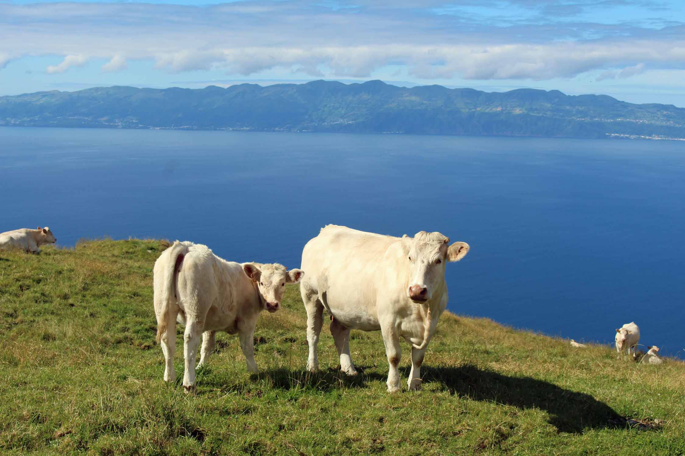 Cows on Pico Island, Azores