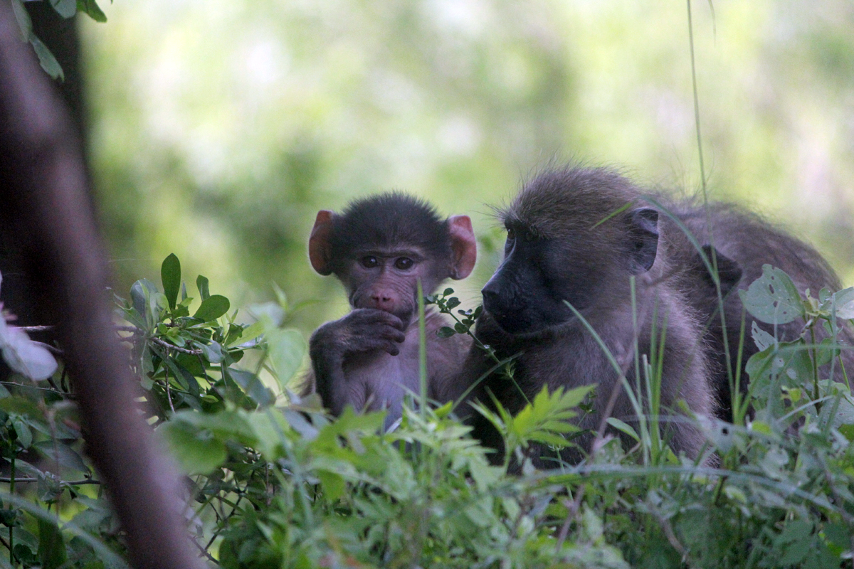 Kruger, baboon, baby