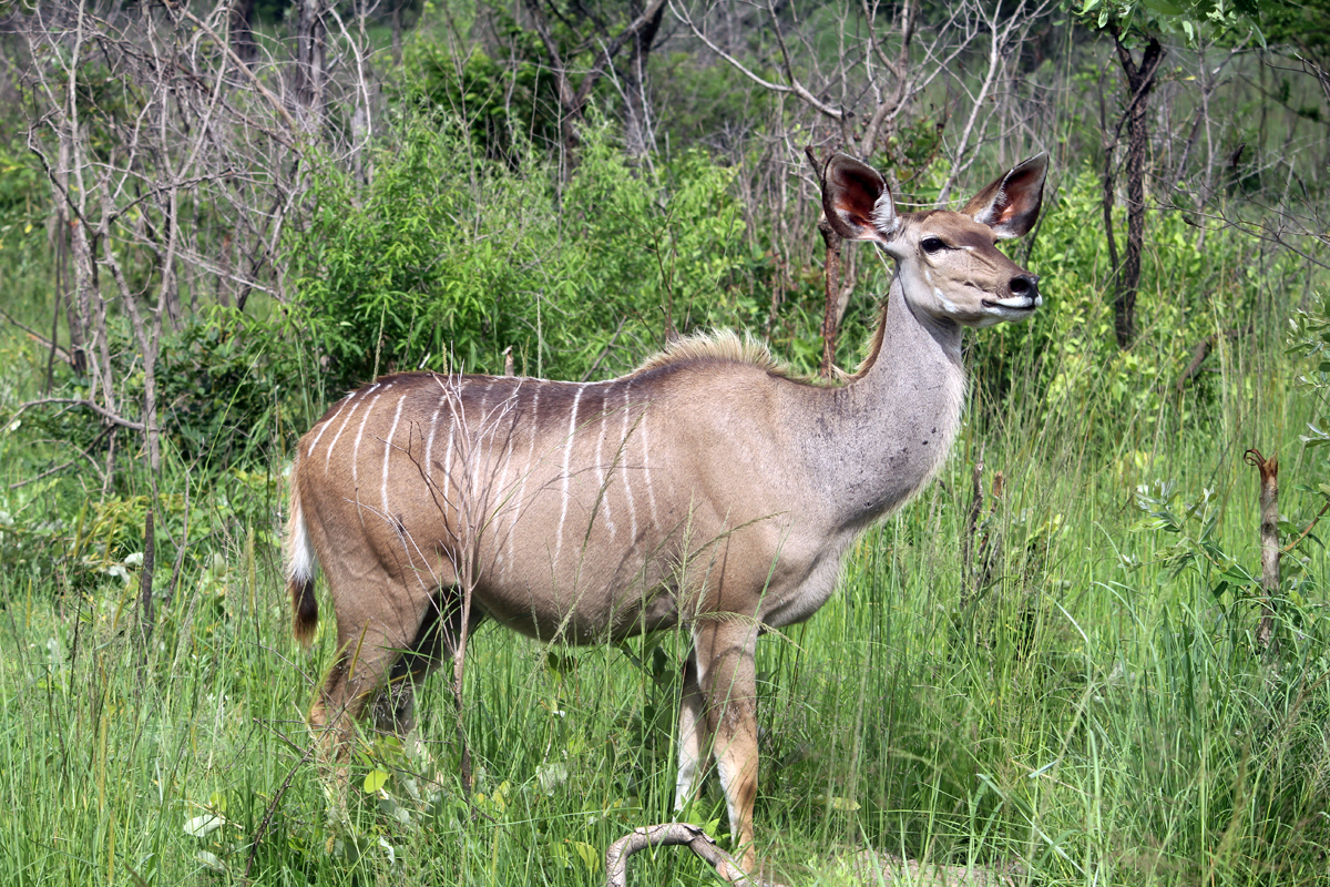 Southern elands, female