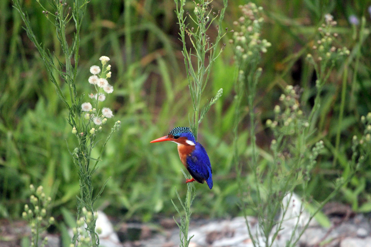 Kruger, malachite kingfisher
