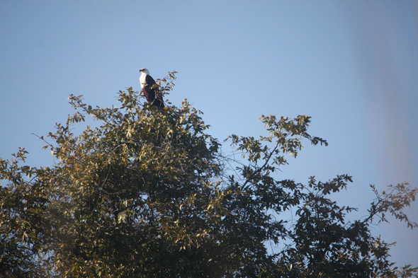 African fish eagle, Okavango
