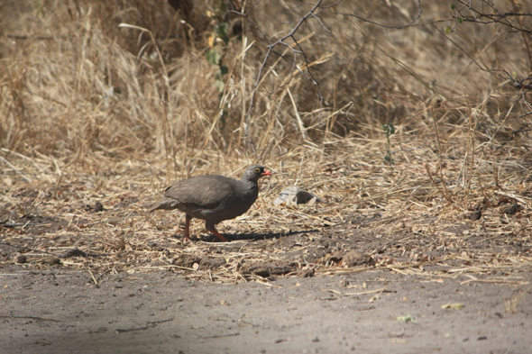 Red-billed spurfowl, Tsodilo Hills