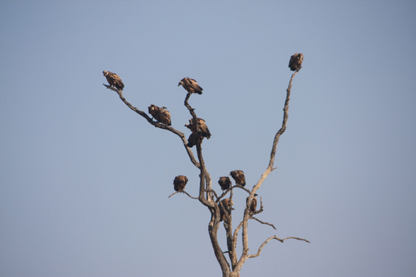 Vultures, Chobe