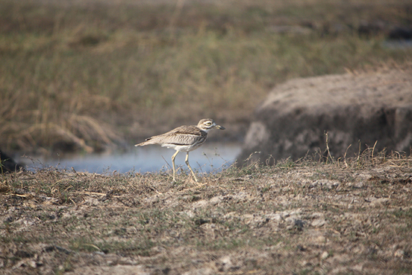Spotted Thick-knee, Chobe