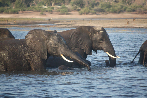 Elephants, Choben, tusks, Botswana