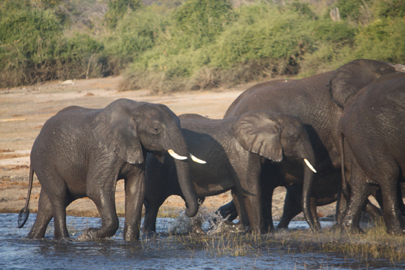 Africa, elephants, Chobe river