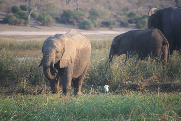 Elephants, Chobe, view