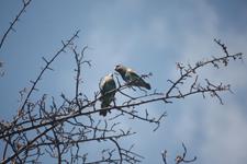 Rüppell's Parrots