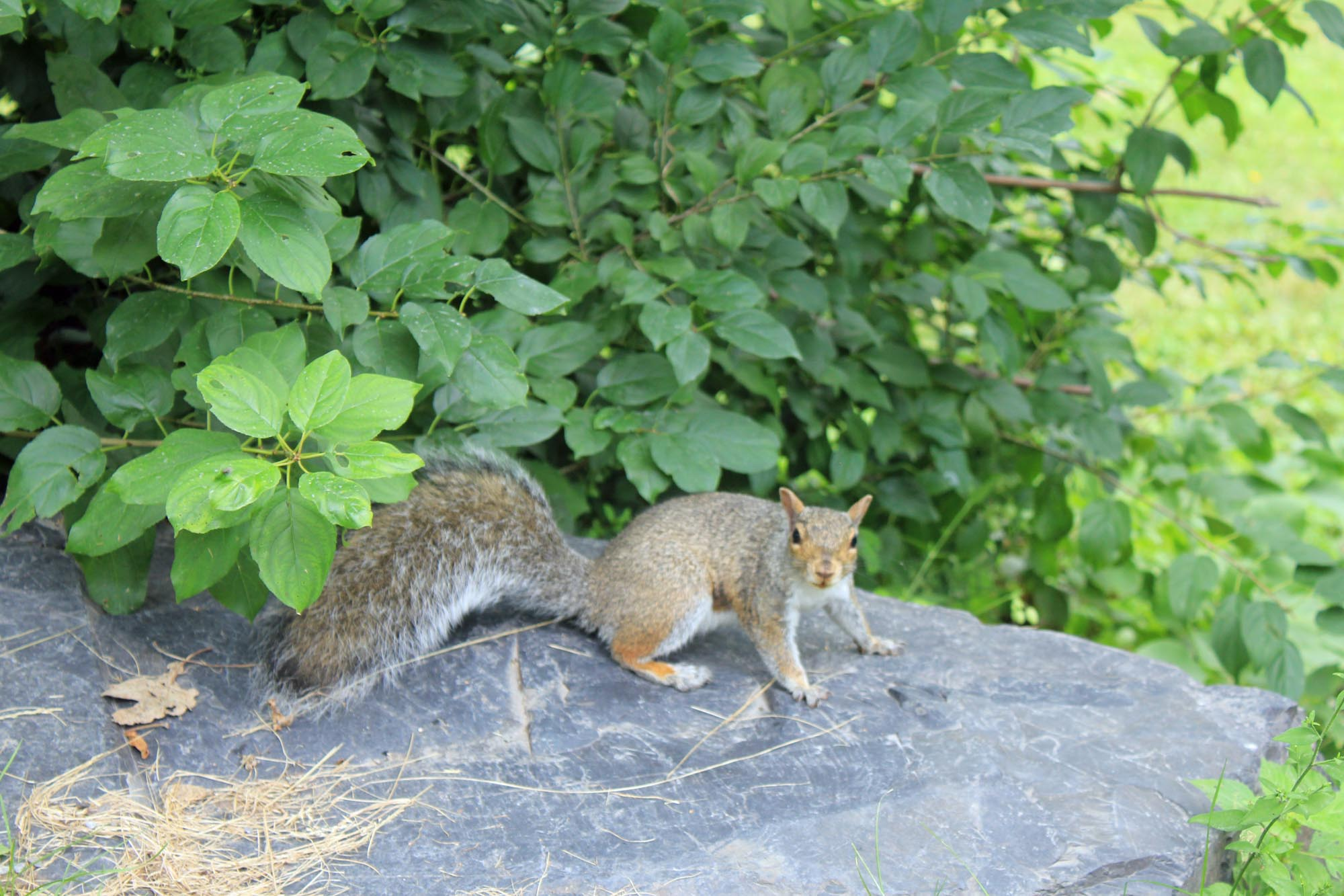 Montreal, Mont-Royal, squirrel