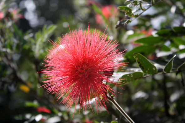 Calliandra, Balata, Martinique