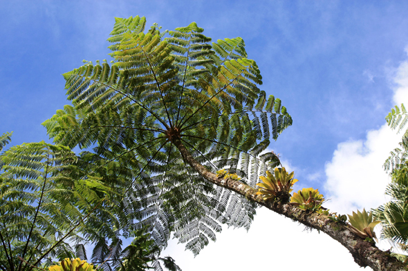 Tree ferns, Balata
