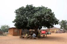Palaver trees