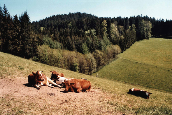 Cows in the Black Forest
