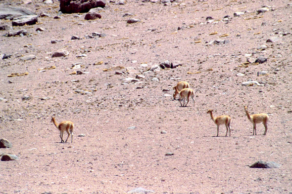 Vicunas in Bolivia