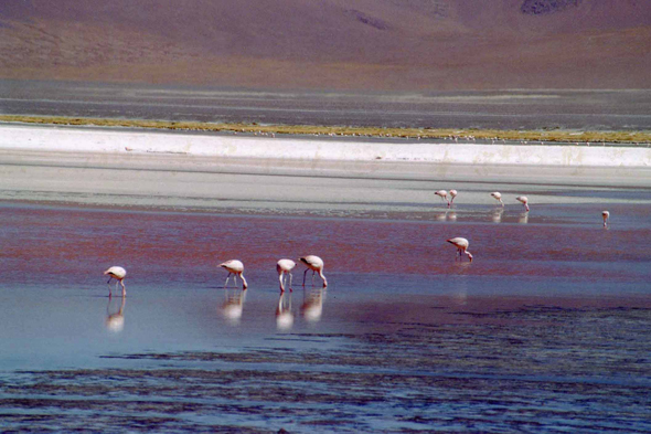 Laguna Colorada, South Lipez, flamingos