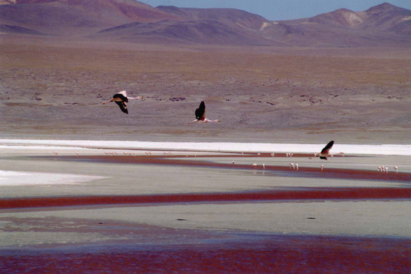 Laguna Colorada, vol de flamants