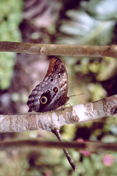 Colombie, Armenia, papillon