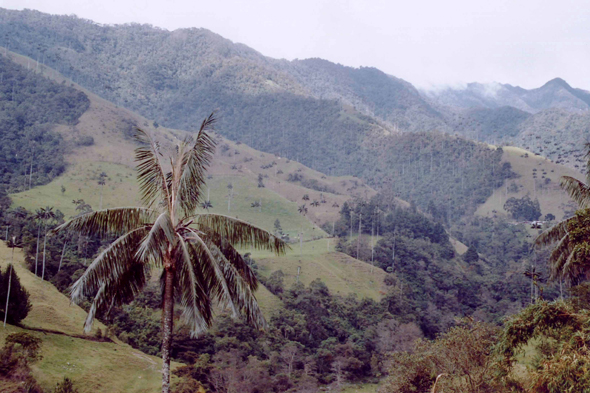 Cocora Valley, palm tree