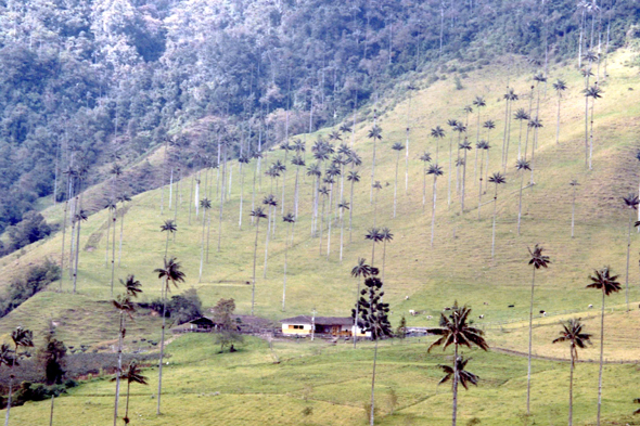 Cocora Valley, wax palm