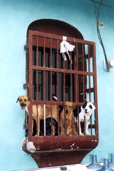 Guatemala, Flores, dogs