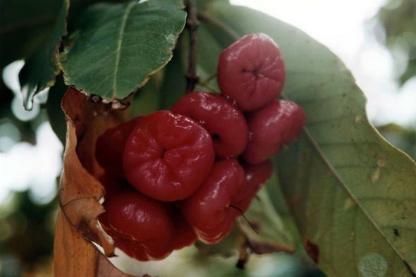 Pomme malacca