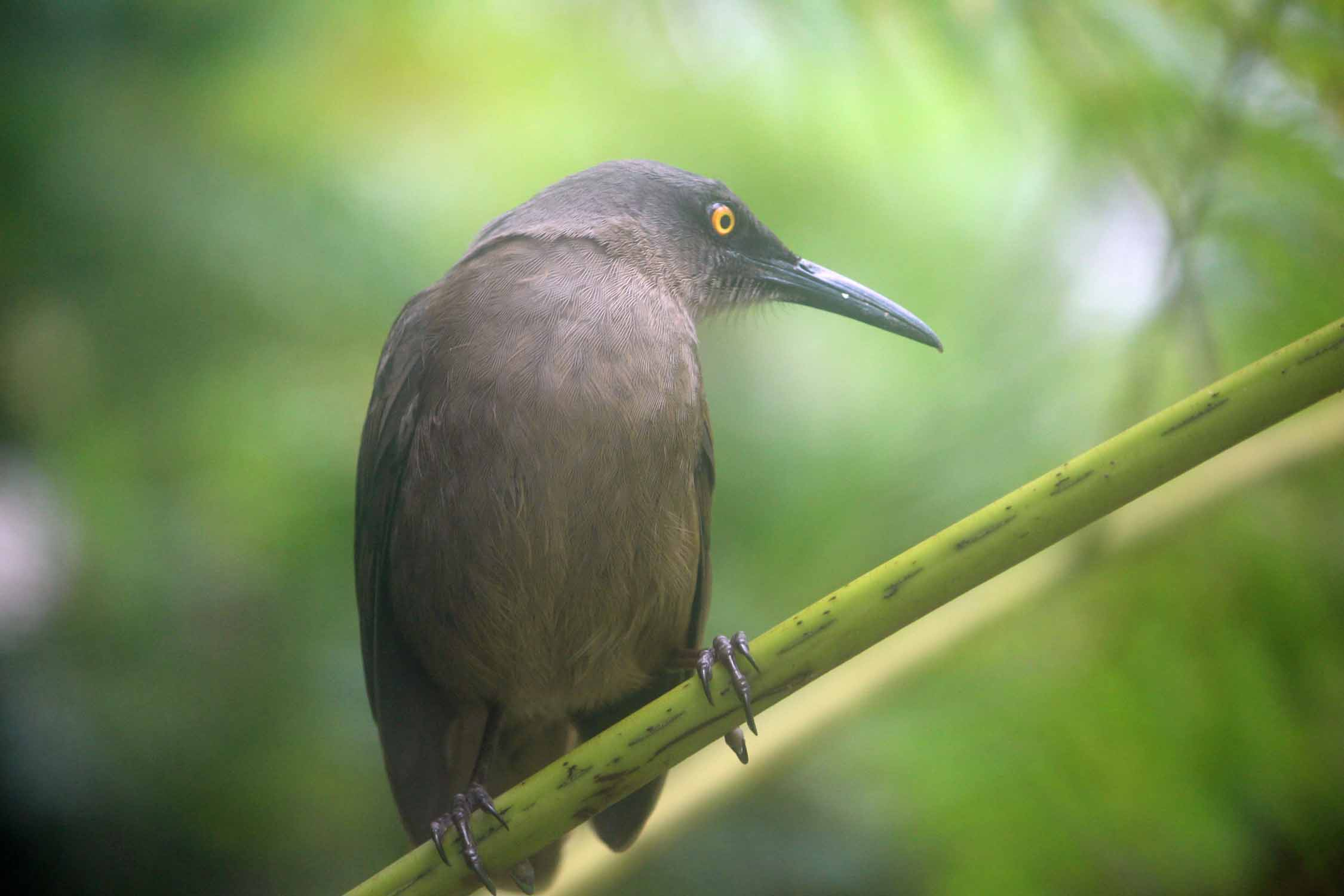 Brown trembler bird, Guadeloupe