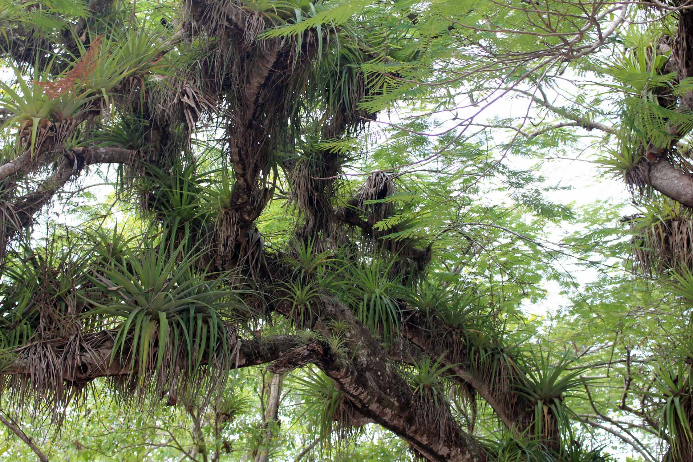 Guadeloupe, Port-Louis, epiphytic plants