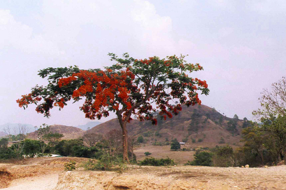 Honduras, flamboyant tree