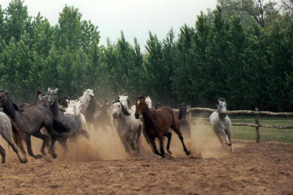 Horses close to Kecskemét