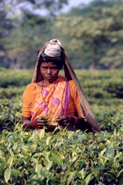Ranichera, tea picker