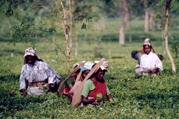 Darjeeling, tea pickers