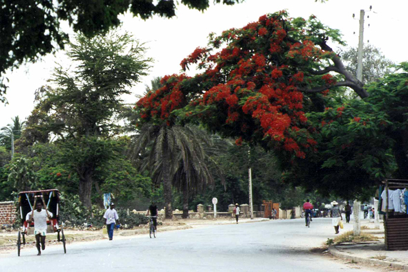 Toliara, flamboyant tree