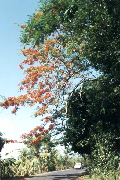 Hell-Ville, flamboyant tree