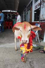 Vache sacrée