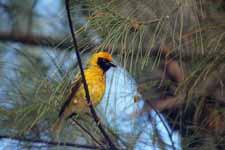 Oiseau tisserin