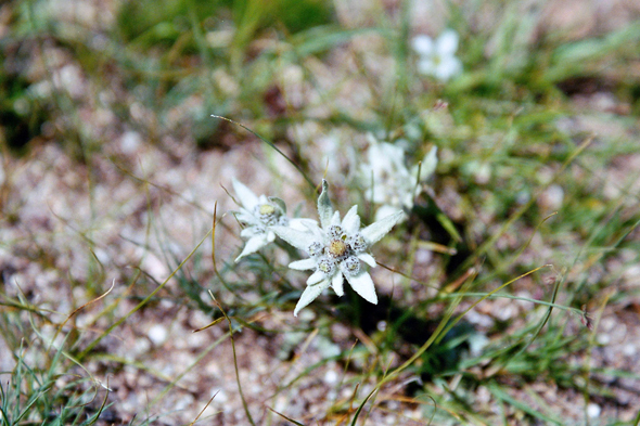 Mongolia, edelweiss