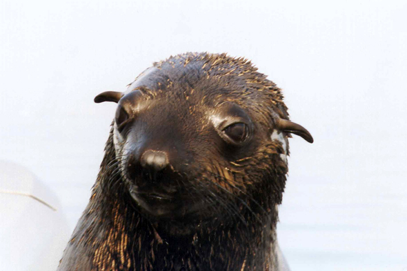 Walvis Bay, fur seal