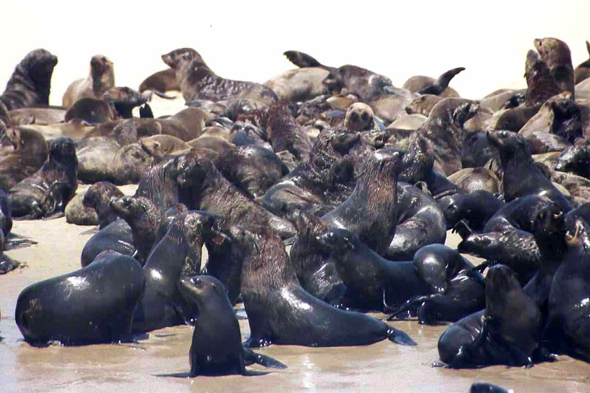 Walvis Bay, otaries