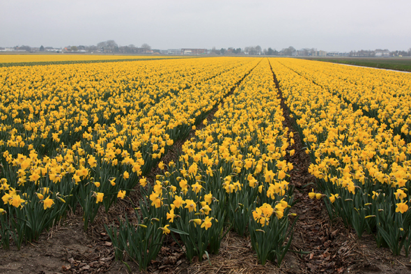 Fied of tulips, Netherlands