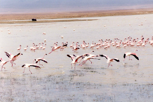 Ngorongoro, flamants roses