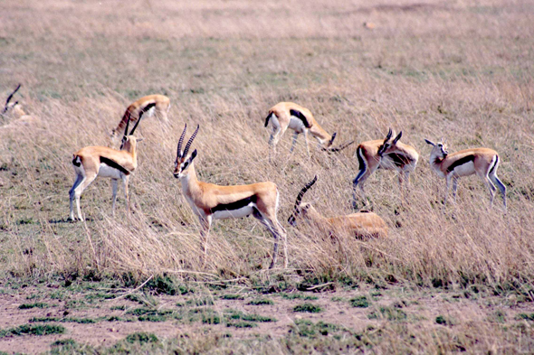 Serengeti, Gazelle de Thomson