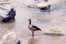 Abyssinian goose