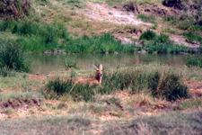 Antilope des marais