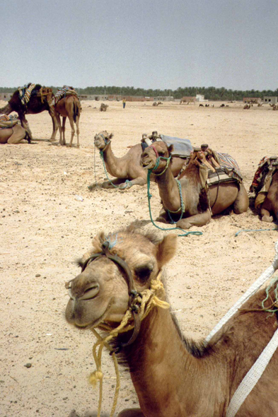 Tunisia, dromedaries